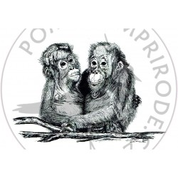 Pohled orangutan II